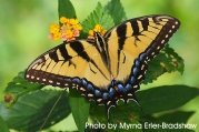 Eastern-Tiger-Swallowtail